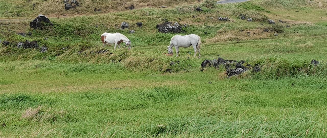 흰말  말 두마리가 한가로이 풀을 뜯고 있다. 멀리 형제 섬의 두 바위와 어울려 묘한 여운을 남긴다.