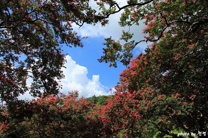 명옥헌 배롱나무 백 일 동안 꽃을 피우는 자미목이 울창한 명옥헌은 그야말로 선계요 무릉도원이다