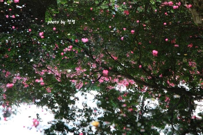 명옥헌 영경 백일홍이 만발할 때 연못에도 황홀한 그림자 풍경이 연출된다.