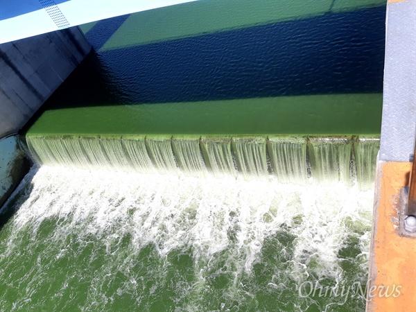 8월 15일 낙동강 창녕함안보의 녹조.