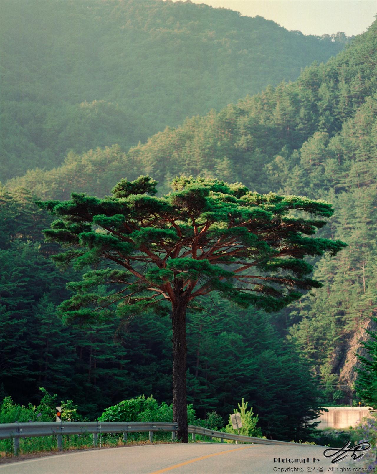 송천 옆의 송(松) (Ektar100)송천의 이름표라도 되는 듯 한 소나무 한 그루가 저녁 빛을 받으며 도로 옆에 서 있다.