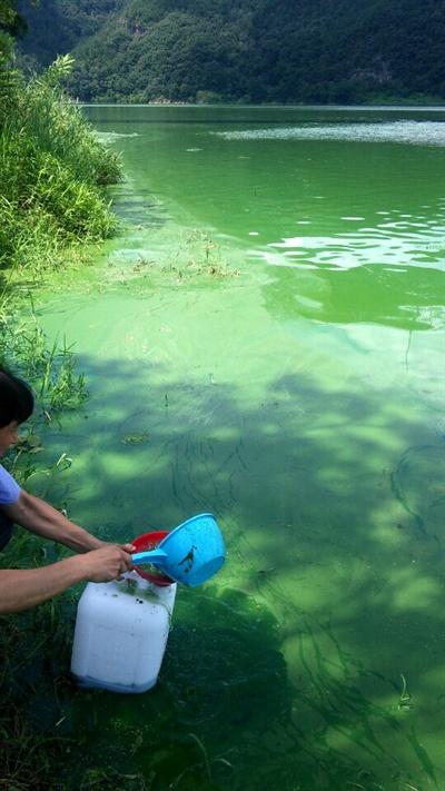 8월 15일 낙동강 녹조.