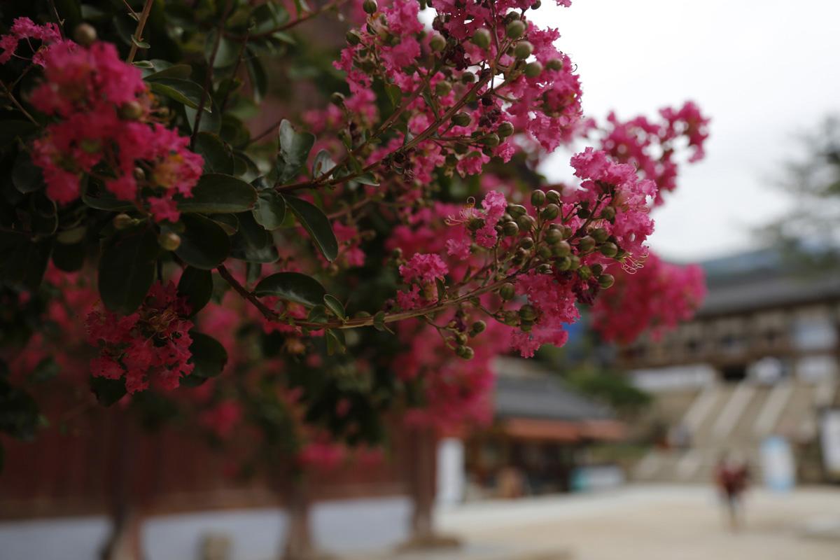 진분홍빛 배롱나무 꽃이 활짝 핀 화엄사. 절집 풍경을 더 화사하게, 요염하게 만들어준다. 지난 8월 15일이다.