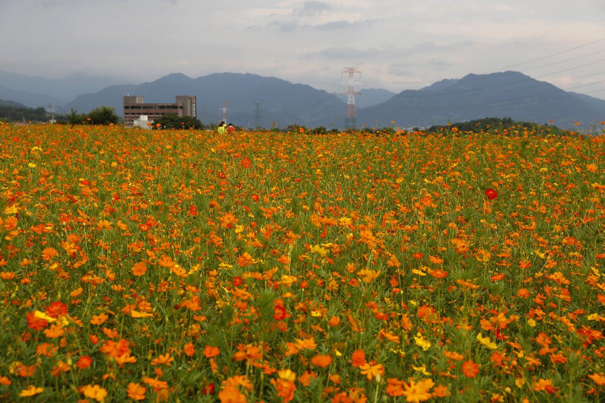 진노랑의 황화코스모스가 활짝 핀 소확행 꽃밭. 지리산 화엄사 입구 삼거리에 있다. 지난 8월 15일 풍경이다.