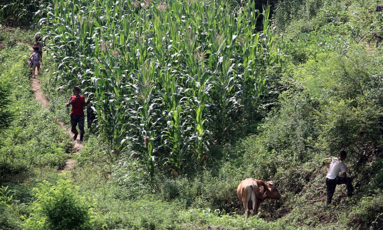 소치는 군인들 압록강변의 옥수수 밭에서 군인들이 소를 몰고나와 풀을 뜯기고 있다.