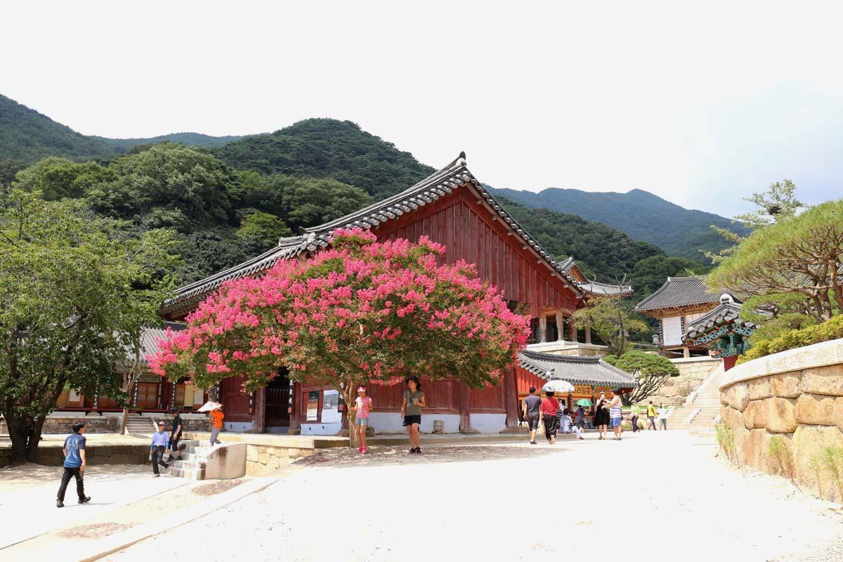 화엄사를 밝혀주는 진분홍 배롱나무 꽃. 지금 절정의 아름다움을 뽐내고 있다.