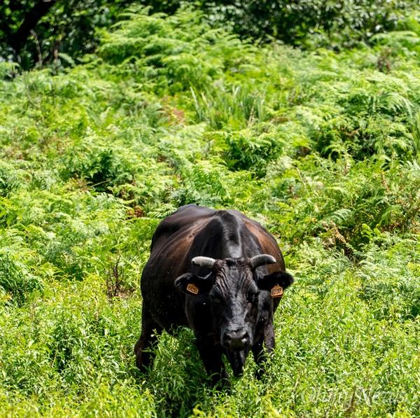제주 흑우는 멸종 단계까지 갔다가 근래에 복원됐다. 흑우는 제주의 오름과 오름 사이를 오가며 풀을 먹으며 성장한다.
