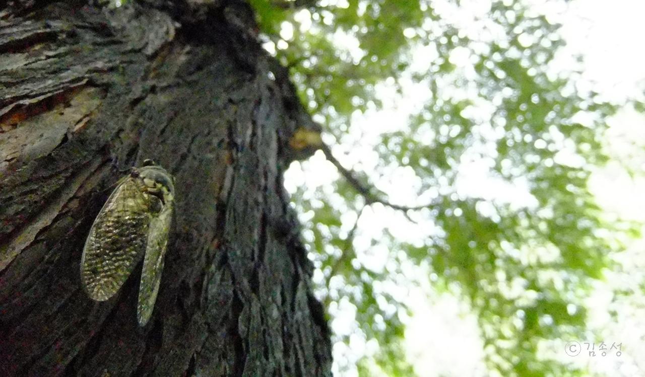 숲속에서 들으니 신나는 합창소리처럼 들려온 매미소리.