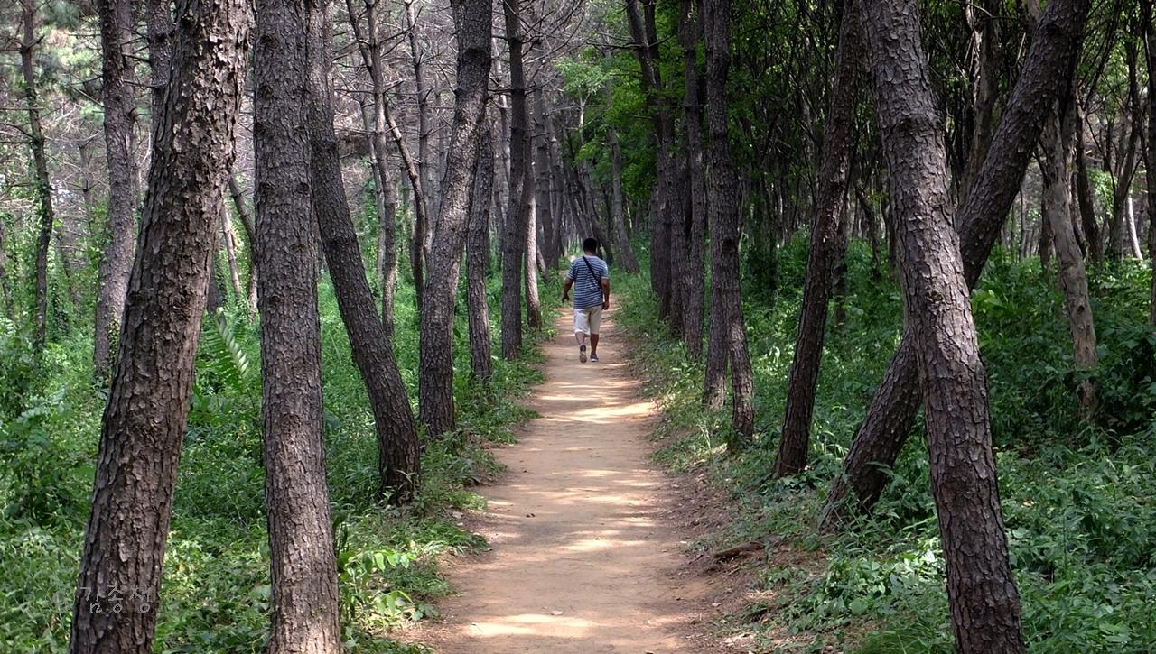 곰솔숲속 오솔길.