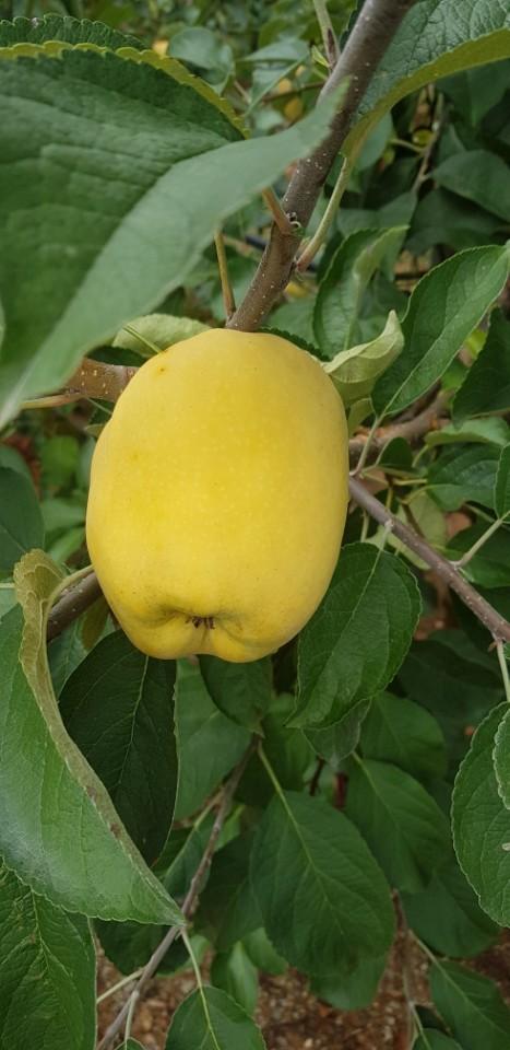 모과처럼 변해 버린 사과 올 봄 냉해로 인해 씨방 형성이 제대로 이루어지지 않아 모양이 삐뚤어져 상품으로서의 가치를 잃은데다 햇빛으로 인해 노랗게 변해버린 사과들이 즐비하다.