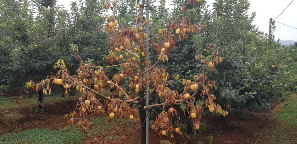 죽어버린 사과 나무 농가에서는 올 봄 냉해로 인해 약한 사과나무는 죽어버렸다고 주장하고 있다. 이에 대해 농업기술센터 관계자 역시 그럴 가능성은 충분히 있다고 답했다.