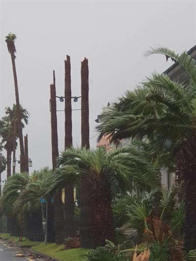 서귀포시 중문관광단지 내 워싱턴야자수 수십그루가 강풍에 쓰러지거나 부러졌다. 사진=독자제공.