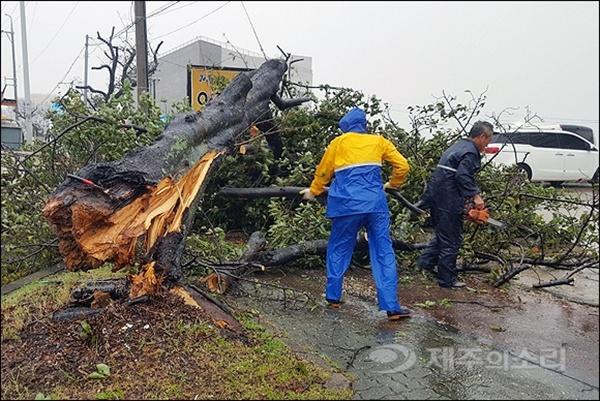 서귀포시에서 가로수가 강풍을 견디지 못하고 부러져 안전조치 작업이 이뤄지고 있다.