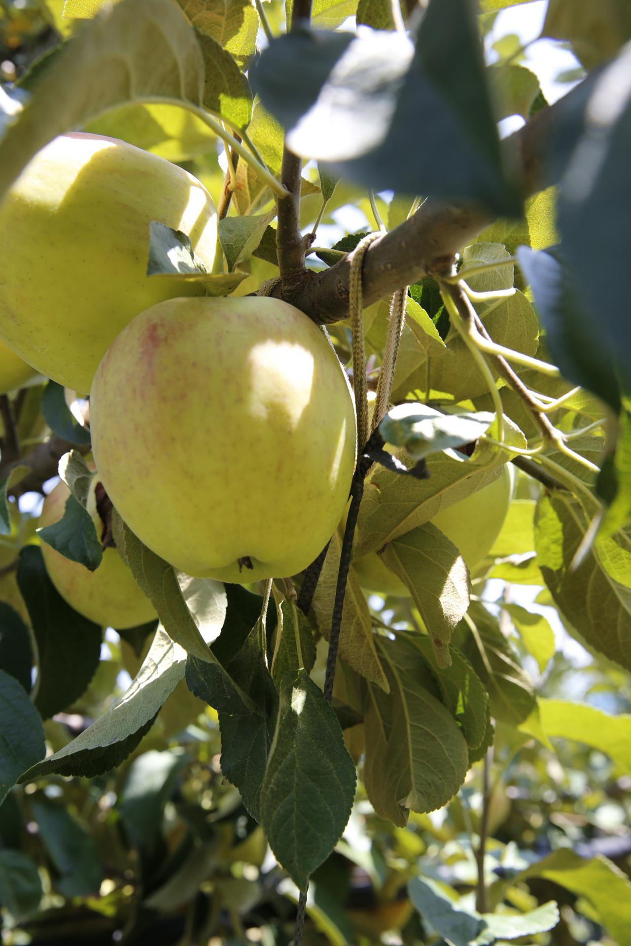 탐스럽게 익어가는 과일도 낙과되지 않게 폭염을 잘 견뎌낸 사과가 태풍에 떨어지지 않을까 노심초사하며 농가에서는 낙과에 대비해 나무가지를 단단히 동여맸다.