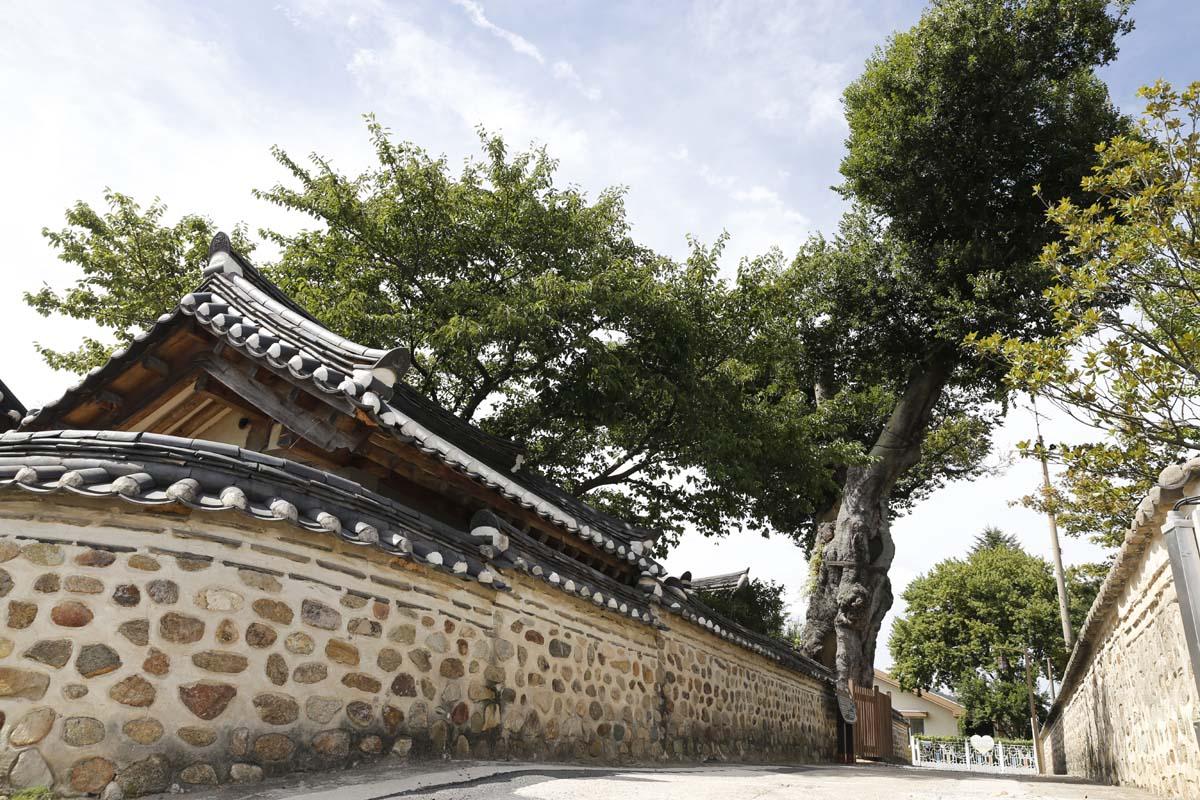 목사내아의 벼락 맞은 팽나무. 행운을 가져다 주는 나무로 알려져 있다.