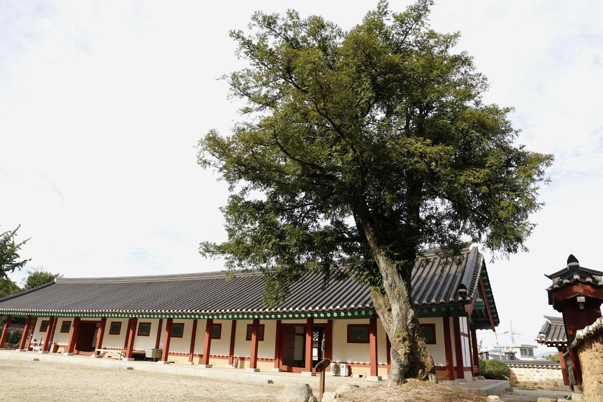 나주향교의 비자나무. 수령 500년이 넘은 것으로 추정되고 있다.
