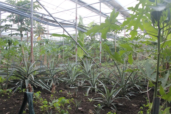 유진팜 농장에는 바나나 말고도 다양한 아열대작물이 자라고 있다. 농장 실내 전경