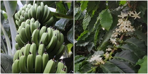 바나나와 커피나무꽃