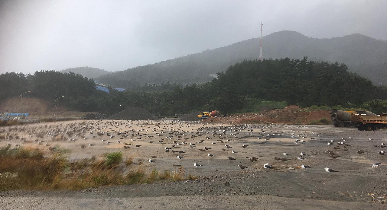 전남 신안군 흑산도에 태풍 솔릭이 들이닥치자 갈매기들이 땅으로 피난을 했다.