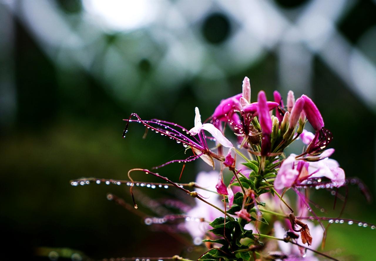 빗속의 풍접초