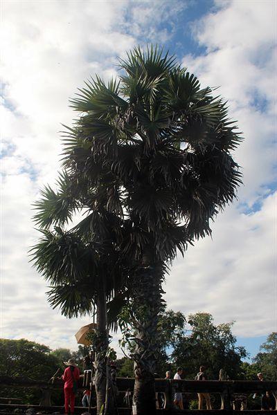 앙코르와트 중앙사원 앞 야자수 나무에서 기름을 뽑아내는 모습