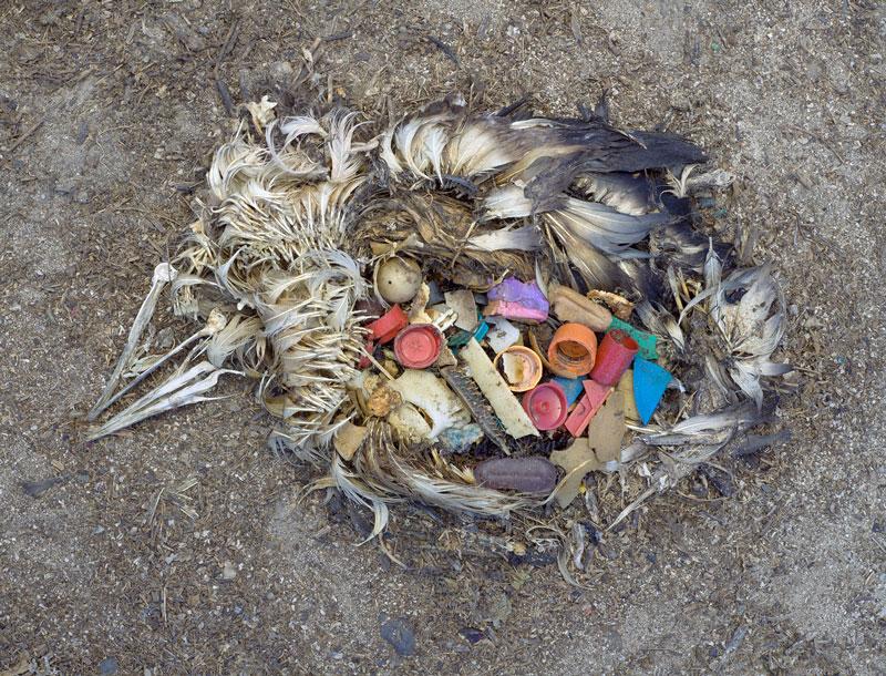 바다 위에 떠 있는 플라스틱을 먹고 굶주림으로 죽은 알바트로스