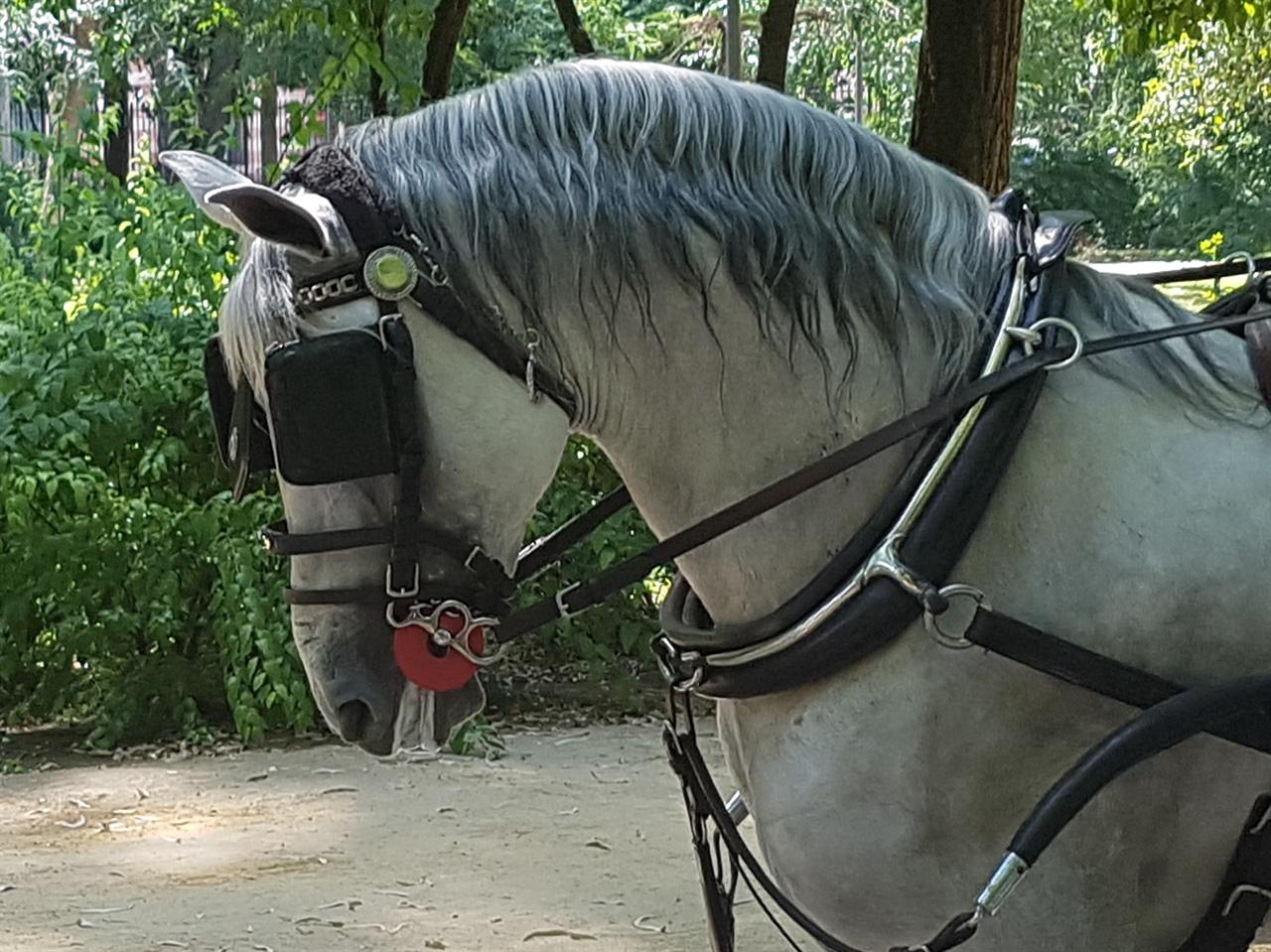 말 옆눈에 가리개를 하여 앞만 보고 가도록 하였습니다. 동물을 학대하는 것 같아 씁쓸한 뒷맛을 남겼습니다.