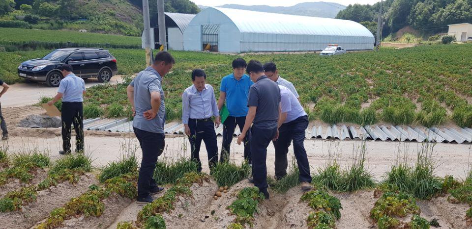 8월8일 복방면 감자 농가 피해 현장