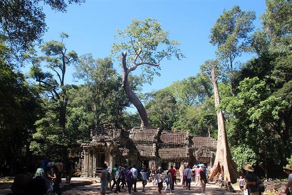 이엥나무와 스펑나무로 휘감겨 있는 타프롬 사원 모습