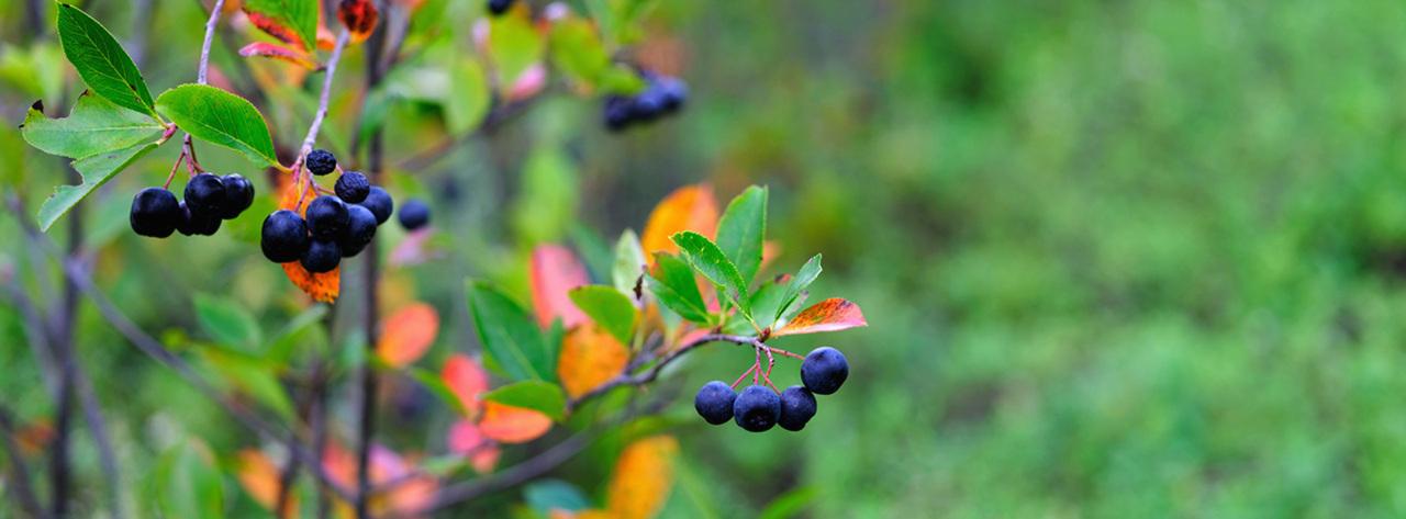 아로니아 잘 익은 아로니아와 단풍이 든 이파리가 가을임을 보여준다.
