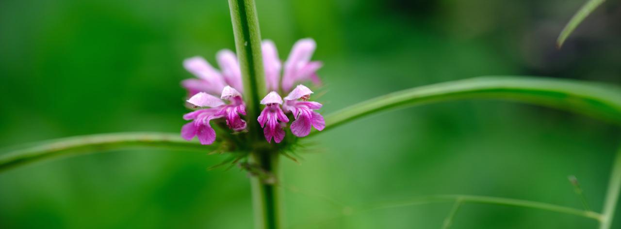익모초 가을 들판에서는 어머니에게 좋은 풀, 쓰디쓴 익모초의 꽃이 가지런히 층층히 피어나고 있었다.