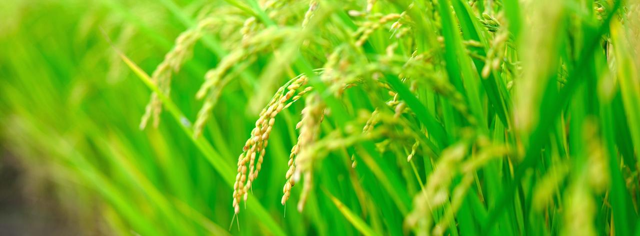 벼 쌀 한 톨의 무게는 온 우주의 무게와 다르지 않다.