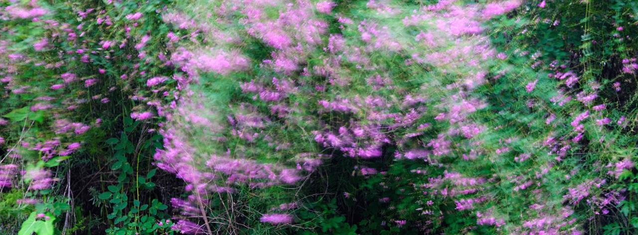싸리꽃 보랏빛 싸리꽃이 가을바람에 흔들리며 춤을 춘다.