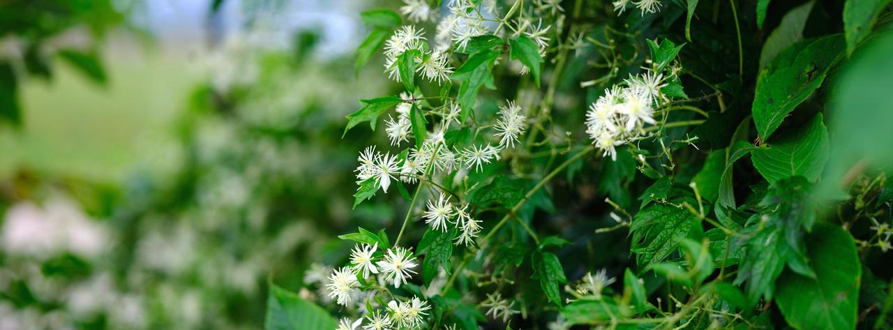 사위질빵 하얀 눈이 내린듯 장모님의 사랑의 전설을 담은 꽃이 풍성한 가을이다.