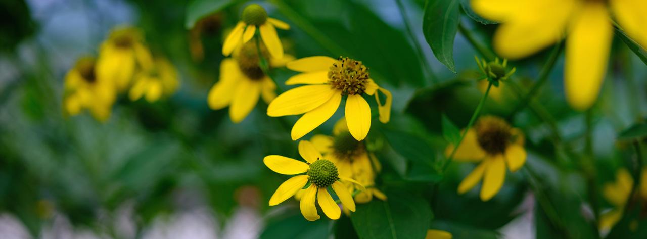 겹잎국화 노란 겹입국화가 노랗게 피어나는 가을, 형형색색의 가을이다.
