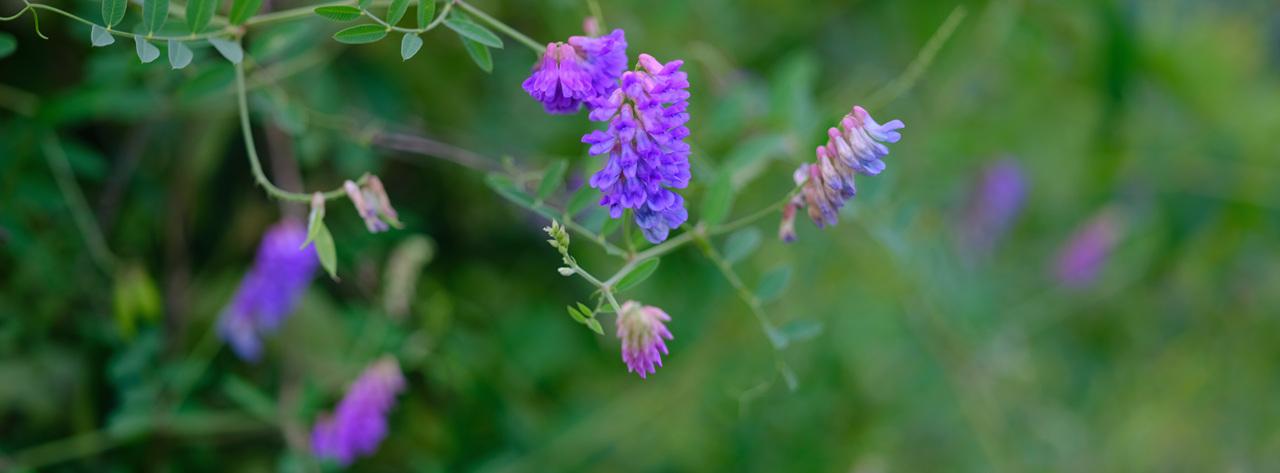 갈퀴나물 보랏빛 꽃이 탐스러운 갈퀴나물