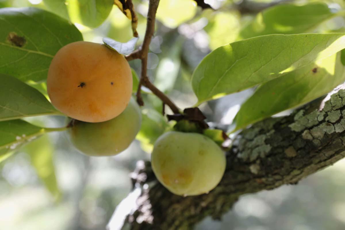 초암정원 감나무에 달린 단감. 가을로 접어들면서 맛이 들어 유난히 달다.