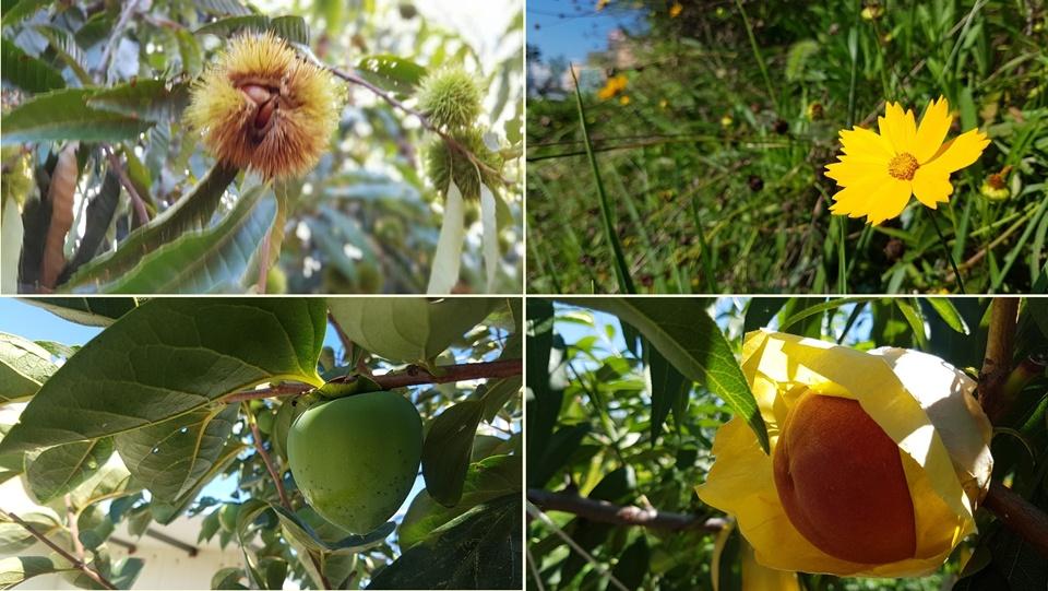 지난 8일 24절기 중 하나인 백로(白露)가 지나면서 본격적으로 가을의 시작되고 있다. 특히 가을 과일과 이름모를 가을꽃이 가을이 성큼 다가왔음을 알려주고 있다.