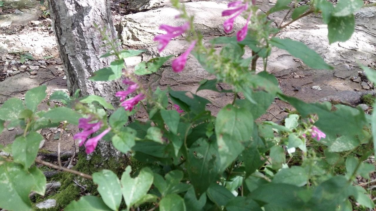 길옆 바위 밑에 수줍은 듯 피어있는 연분홍의 가냘픈 꽃. 며느리  밥풀꽃이다