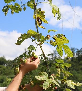 '맥주 만드는 농부' 장동희 대표는 홉에 루풀린(lupulin)이라는 향기와 쓴 맛이 있어 유럽 사람들은 홉을 꿀에 재워 꿀 차로 먹기도 한다고 설명했다.