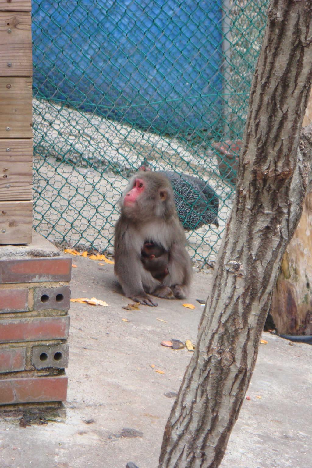 지난달 25일 칠갑산 자연휴양림 우리를 탈출한 일본원숭이