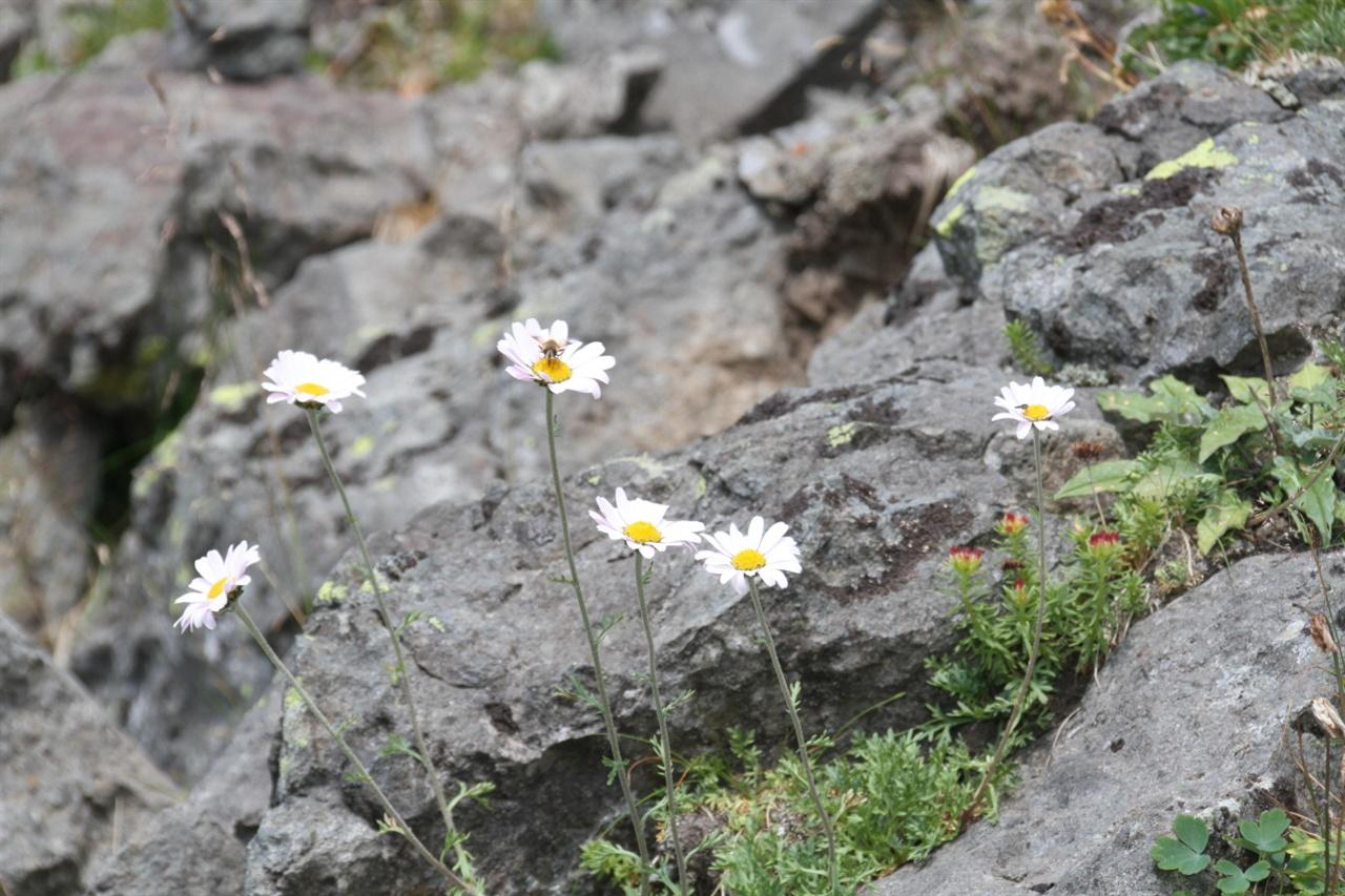 백두산 서파에 핀 야생화  서파를 통해 하산하는 길에는 야생화가 만발해 있다. 야생 문외한이라서 자세한 꽃 이름은 모르지만 우리 주변에서 흔히 보던 그런 꽃들이 만개해 있었다.