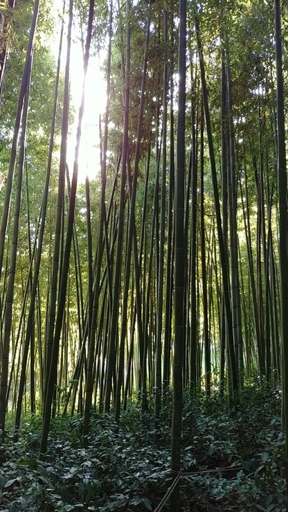 하늘에 맞닿을 듯 쭉쭉  뻗은 대나무숲길이 끝없이 이어진다.