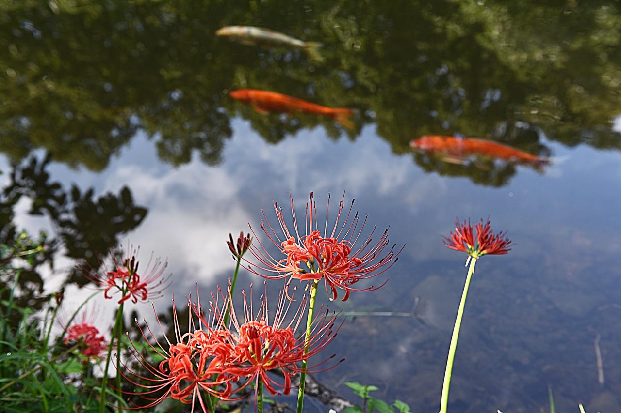 호수와 금붕어와 꽃무릇  불갑사에서 조금 걸어서 산행을 하면 아늑한 호수와 금붕어, 꽃무릇을 한번에 감상할 수 있다.