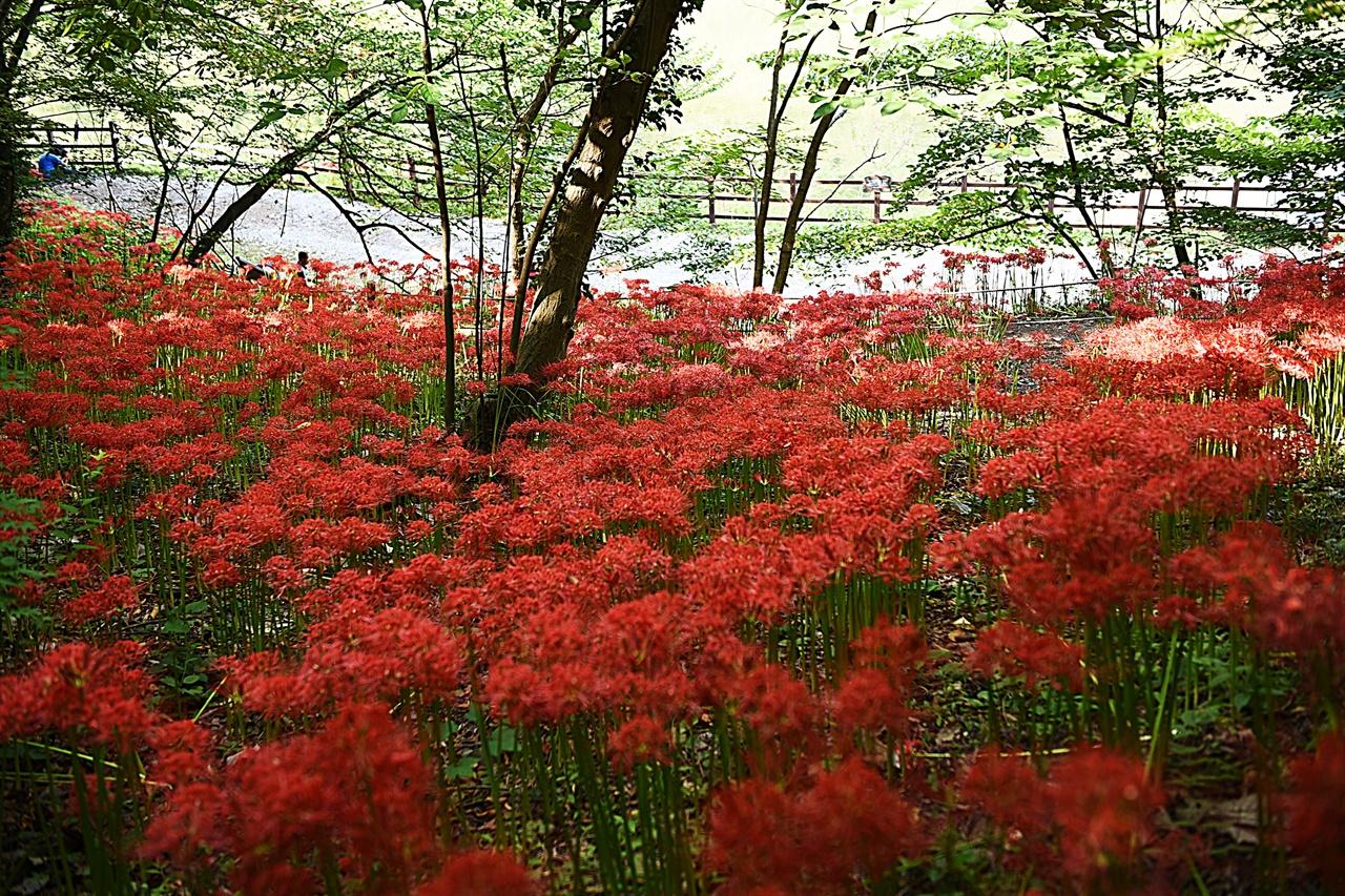 불갑사 꽃무릇 군락 불갑사에서 불갑산 쪽으로 걸어가면 호수와 만나는 산비탈에서 정말 아름답고 그윽한 꽃무릇 군락을 만날 수 있다.