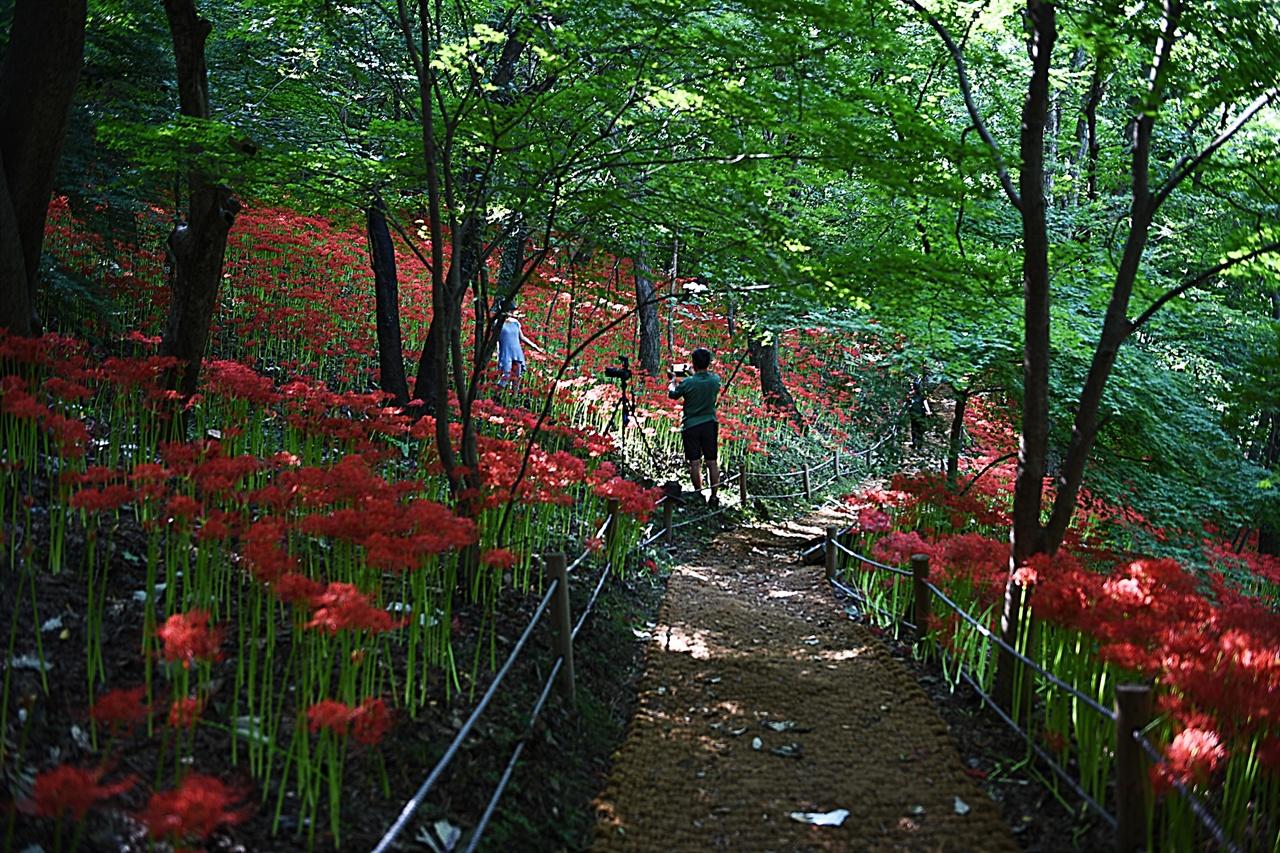 불갑사 꽃무릇 군락  불갑사 꽃무릇 군락은 불갑사 입구와 불갑산 산행길에 대단히 길게 펼쳐져 있다. 불갑사 입구도 좋지만, 산행길에 만나는, 깊은 꽃무릇 군락은 더욱 아름답다.