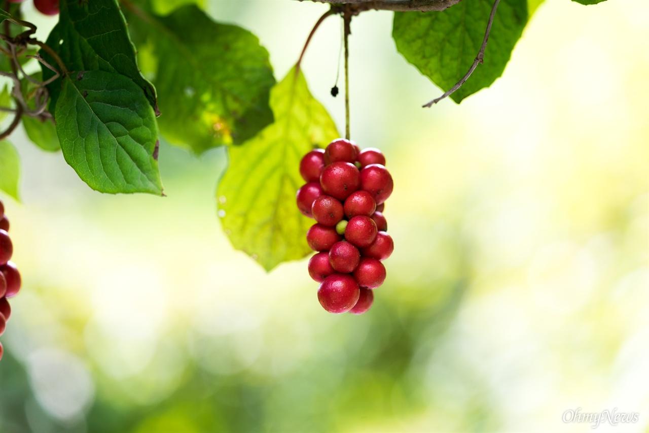 오미자는 크게 세 종으로 나뉜다. 제주에서 재배하는 흑오미자, 남쪽 섬에서 자라는 남오미자, 태백산맥을 따라 자라는 오미자가 있다.