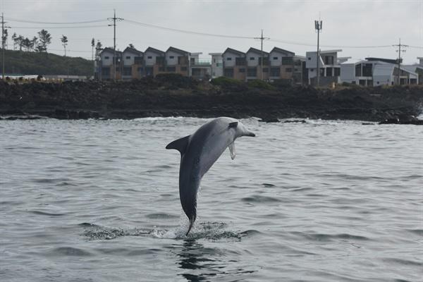 제주도 서부해역인 서귀포시 대정읍 연안에서 서식하는 남방큰돌고래.