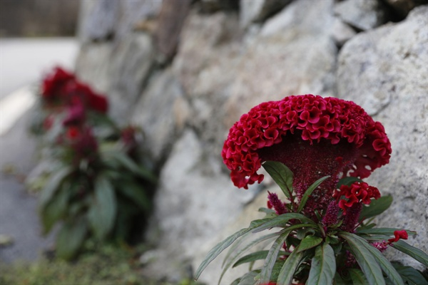 보성 군학마을의 골목에 활짝 핀 맨드라미꽃. 마을의 골골마다 소담한 꽃들이 피어 있다.