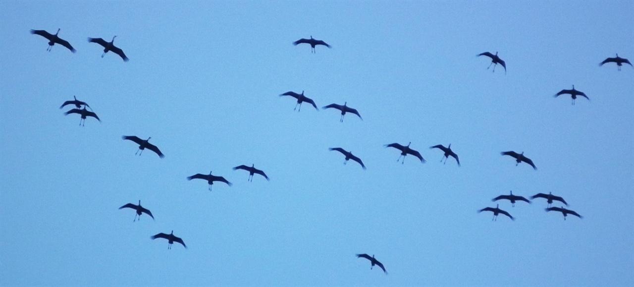 흑두루미의 비행. 해평습지를 찾은 흑두루미 무리가 내려앉을 곳을 찾아 낙동강 위를 날고 있다. 2013년 10월